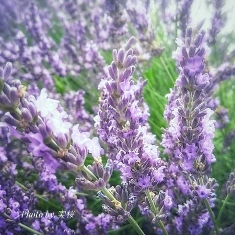 pc_lavender2019.jpeg